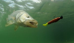 Big Snook hunting a Snook Fishing Rig