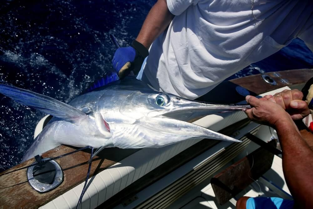 Sailfish-caught-with-Stinger-Rig