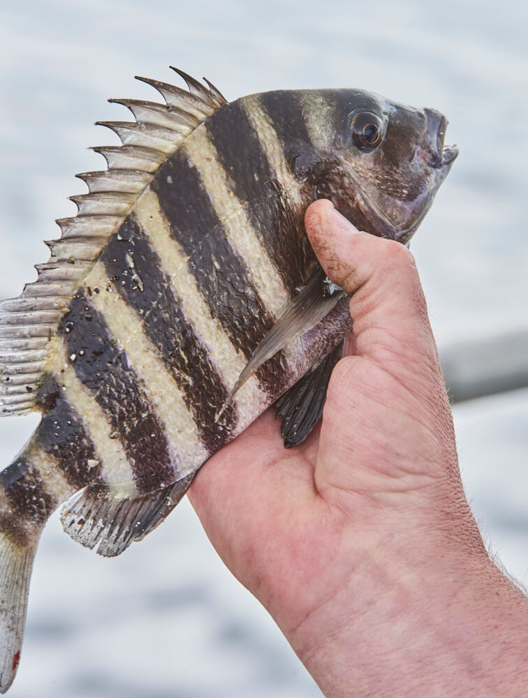 Sheepshead fish caught with Sheepshead rig